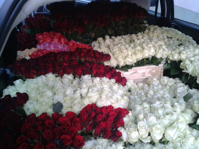 sadnice ruža