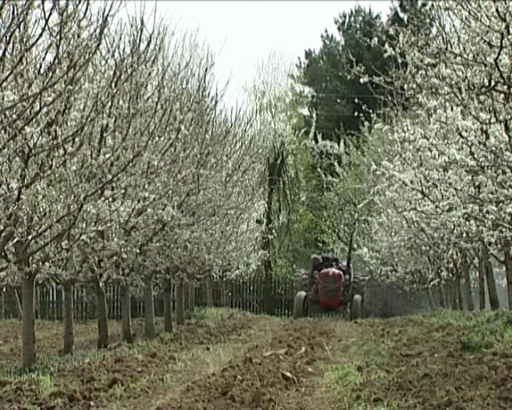 Precvetavanje šljive