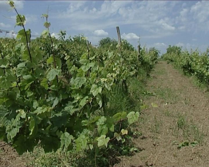 Prodaje se imovina vršačkih vinograda