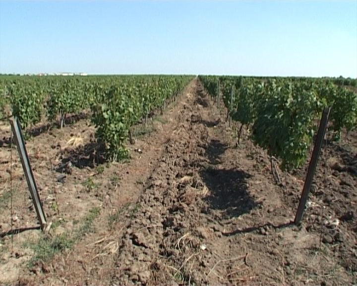 Kinezi kupili Vršačke vinograde