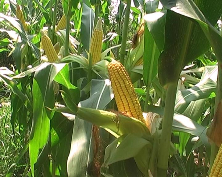 Izvoz kukuruza pet puta manji