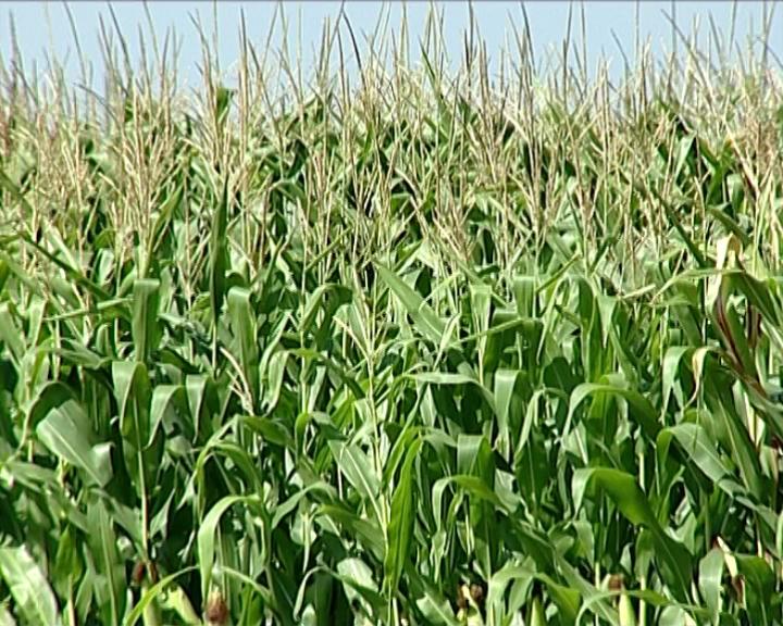 Kiša dobrodošla kukuruzu