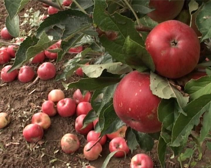 Sprečiti opadanje plodova