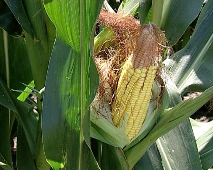 Umanjen rod kukuruza