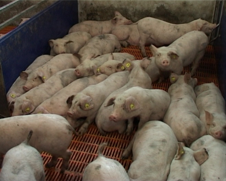 U svinjarstvu leže milijarde
