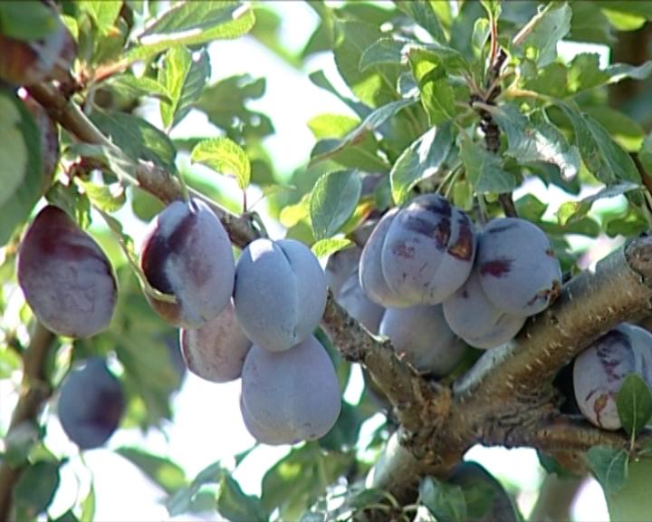 Dobar rod voća