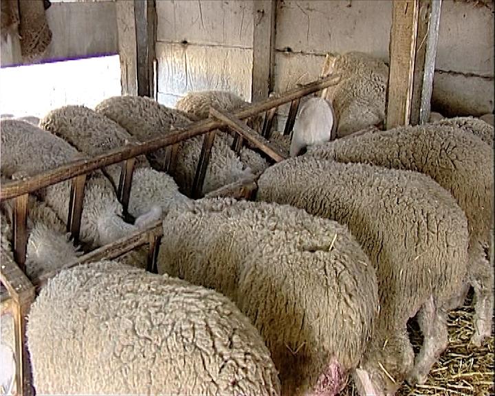 Posle ratarstva i povrtarstva ipak ovce