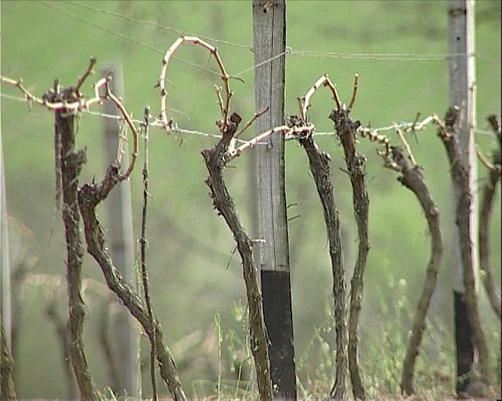 Zaštita u vinogradu