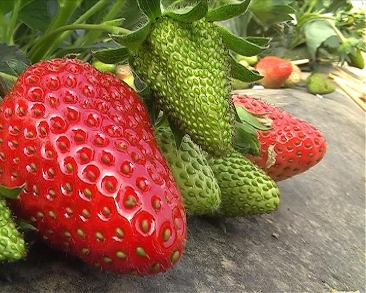 Proizvodnja jagoda u Prokuplju