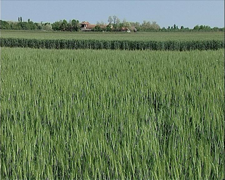 Biće pšenice i za izvoz