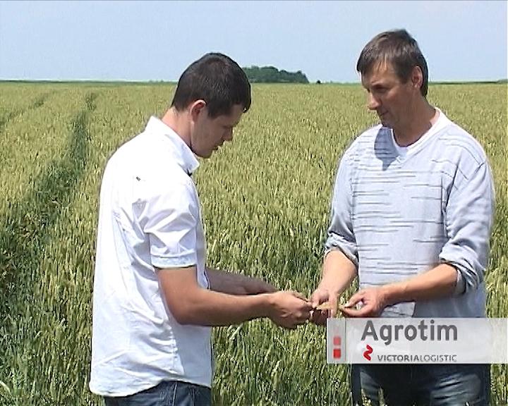 Pšenica u dobrom stanju