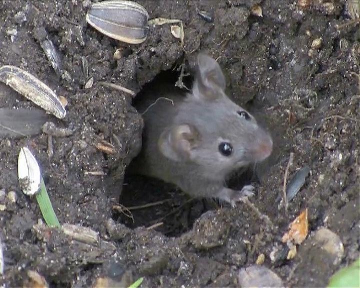 Miševi prave štete na ječmu