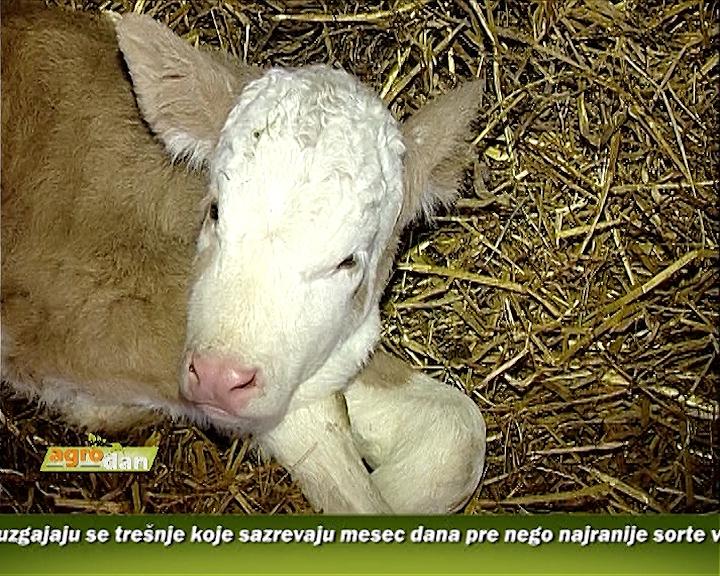 Proizvodnja mleka u Trnavi
