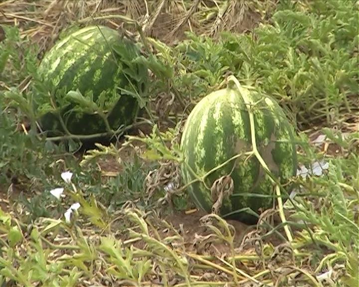 Slaba prodaja lubenica u Srpskoj