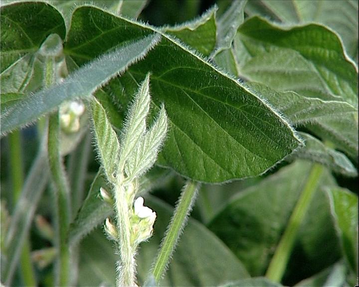 GMO soja u ishrani