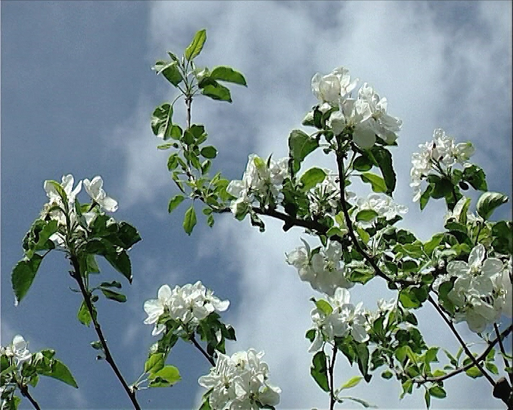 Procvetala jabuka u avgustu