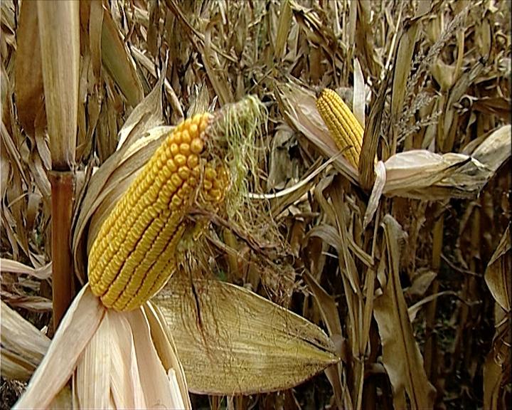 Manje kukuruza