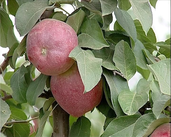 Bolesti jabuka i preventivna zaštita