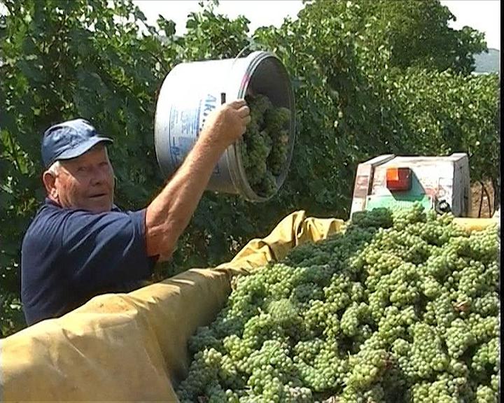 Prinos grožđa manji za 70 %