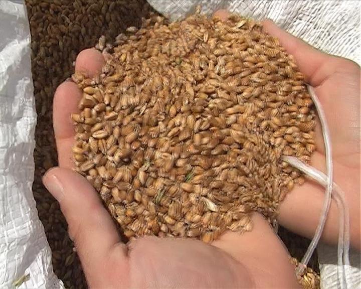 Pšenica skuplja nego u Čikagu