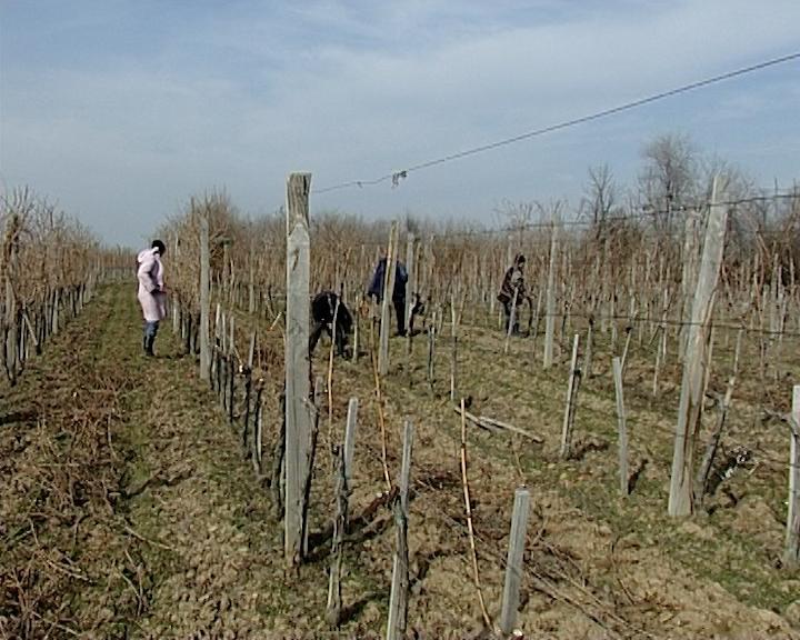U Srbiji 80 hiljada vinogradara