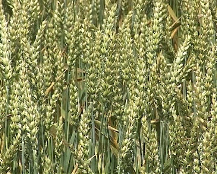 Uočene vaši na pšenici