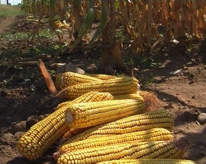 Počela berba kukuruza