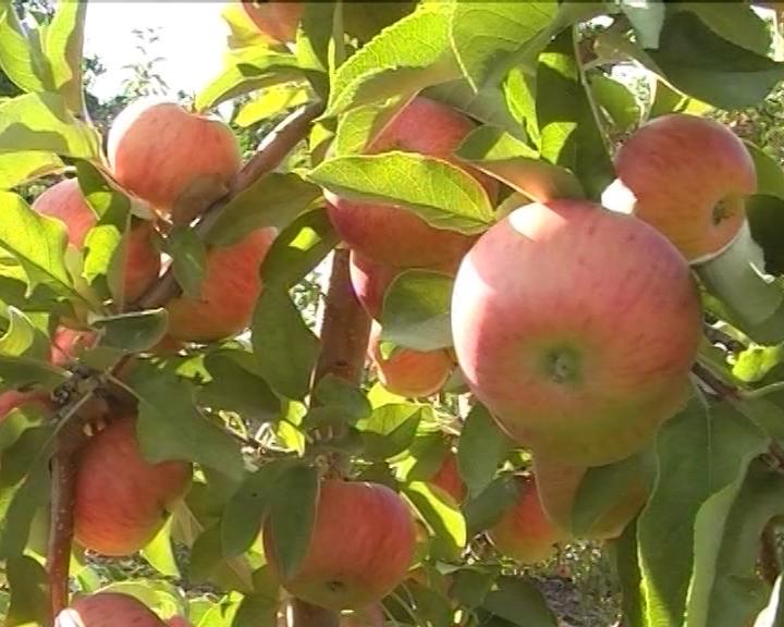 Proizvodnja voća veća za 20%