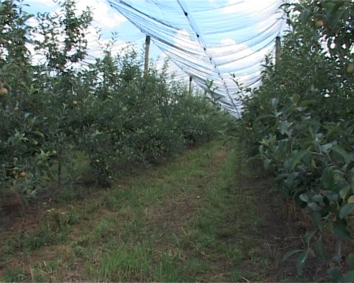 Oktobarski radovi u voćnjaku