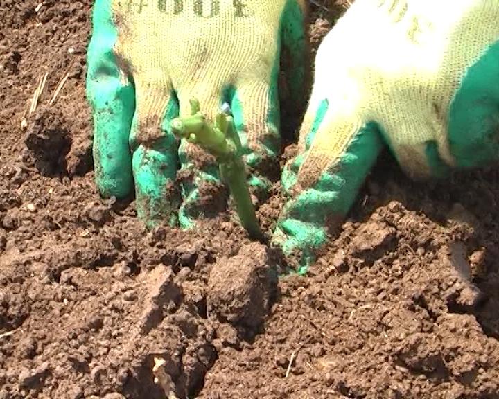Kada saditi lozne kalemove?