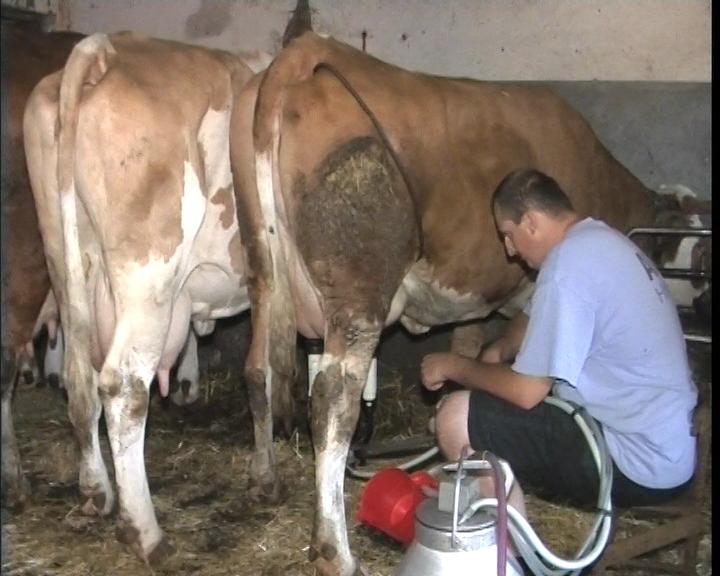 Kako do kvalitetnog mleka?