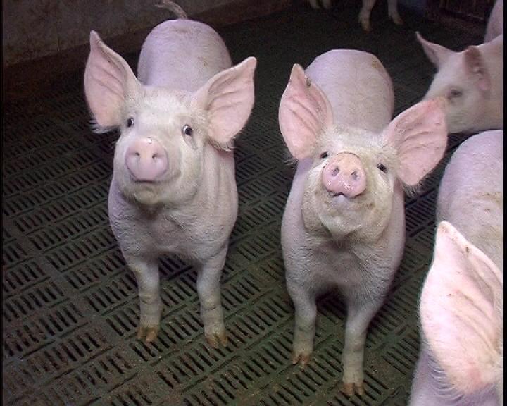 Cene svinja nisu realne