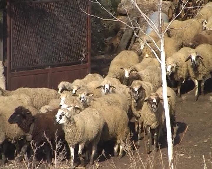 Ovčarstvo u Svrljigu želi da povrati staru slavu
