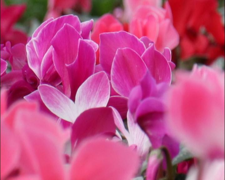 Cveće kao porodični biznis