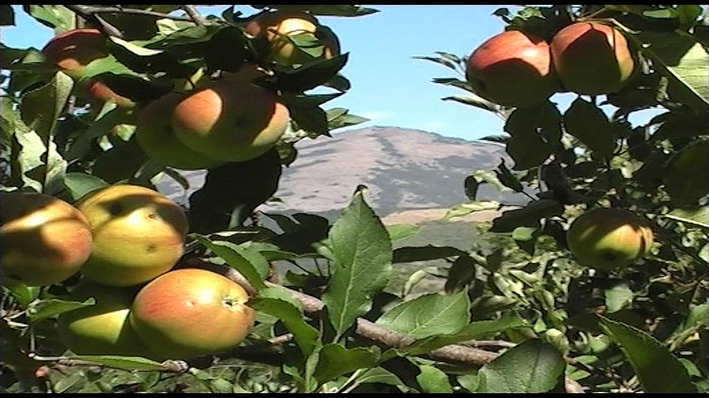 U Rusiju odlazi samo sveža jabuka