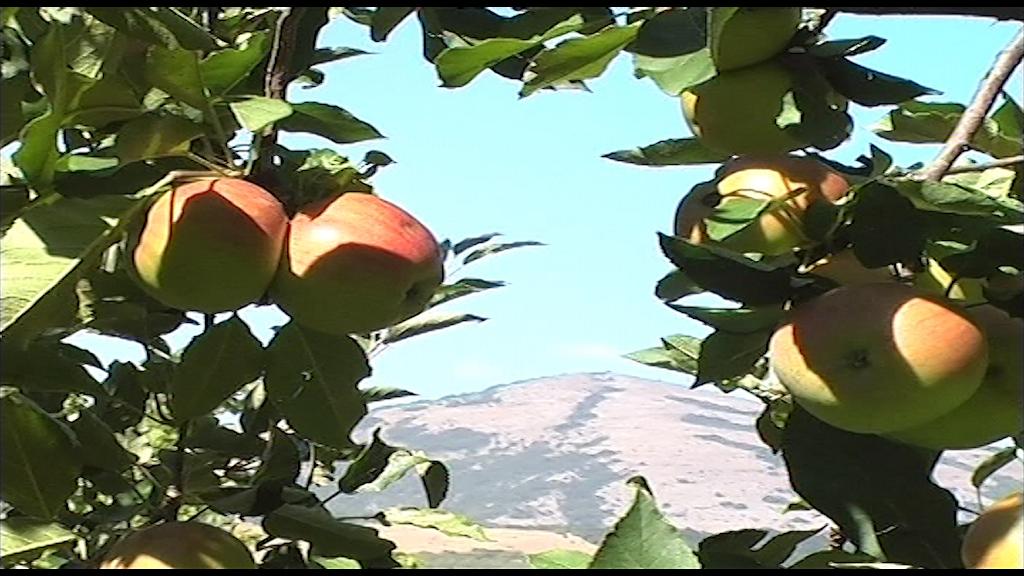 Podizanje intenzivnog zasada jabuke