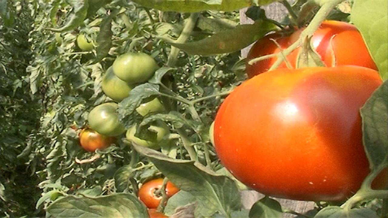 Kako odabrati seme paradajza?