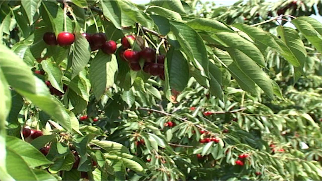 Sprečiti pucanje plodova trešnje