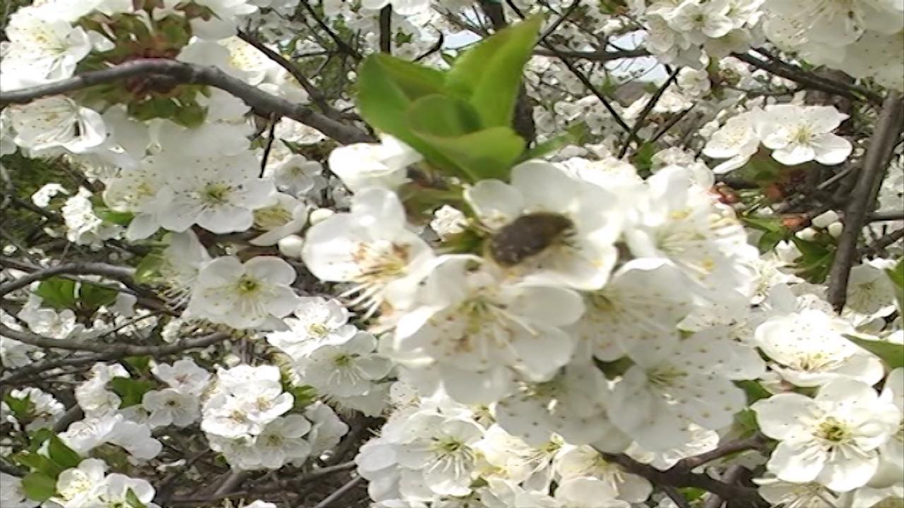 Rutava buba u voćnjacima