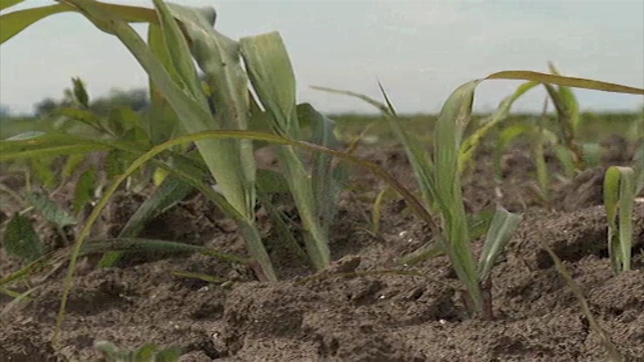 Zaštita kukuruza od korova