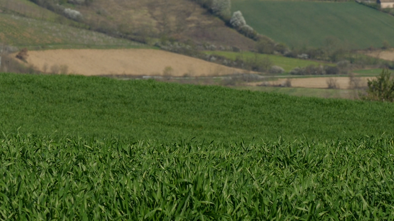 Kiša sprečava zaštitu pšenice