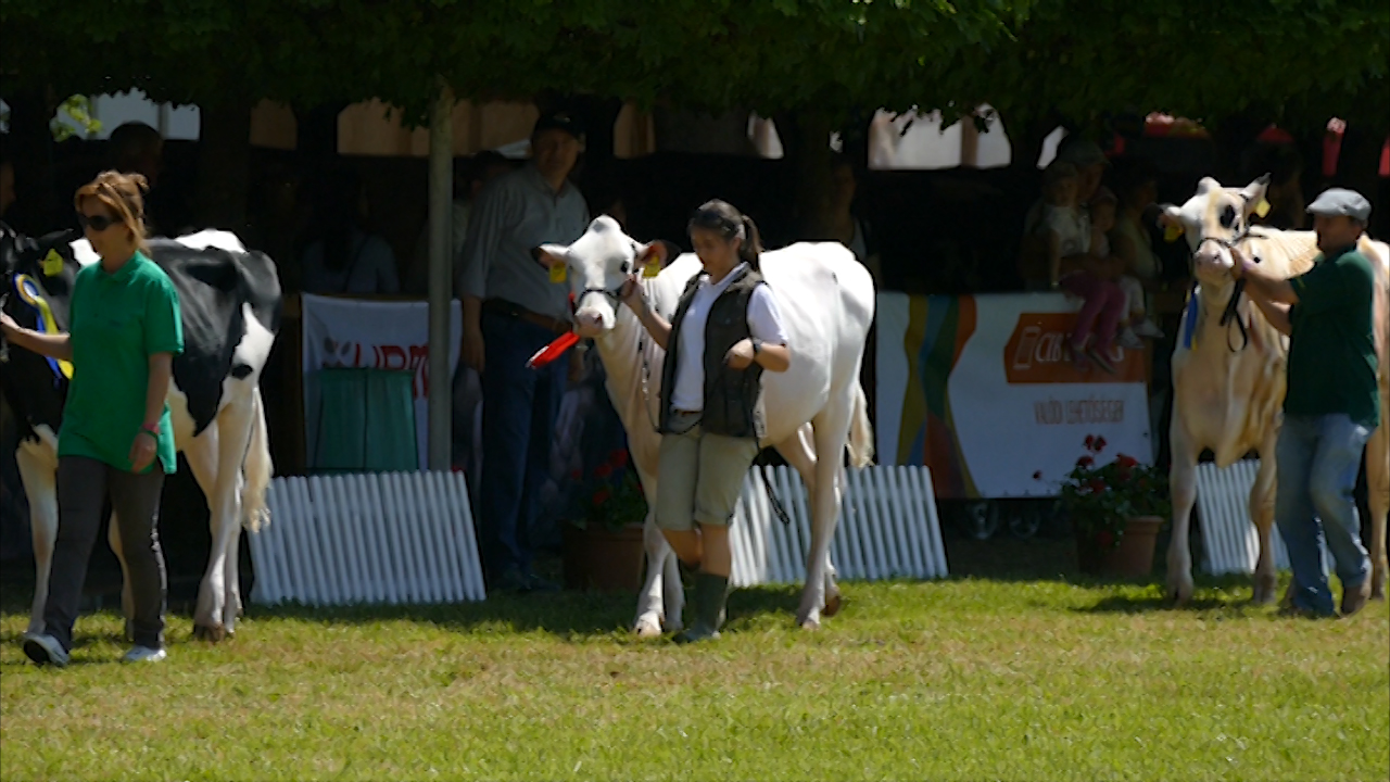 Izložba krava i ovaca