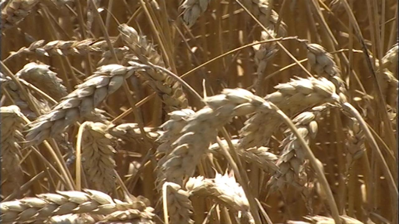 Rekorderi u prinosu pšenice