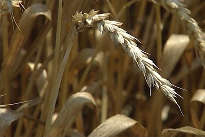Odblokiran izvoz pšenice