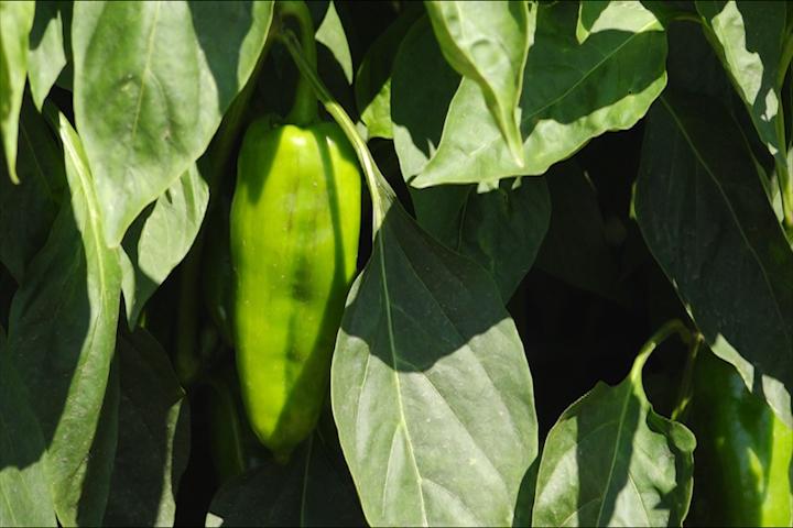 Biološka proizvodnja paprike