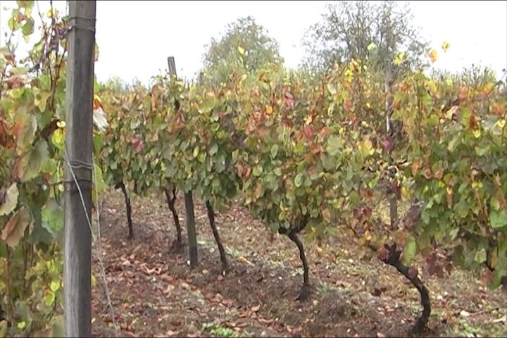 Nestaju vinogradi na Bilješkoj čuki