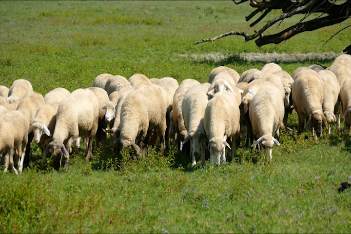 Pred opštinu sa 2.000 ovaca