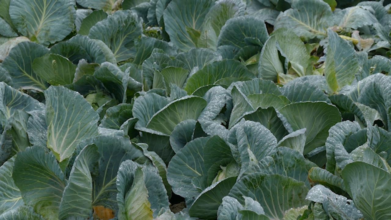 Intenziviranje povrtarske proizvodnje