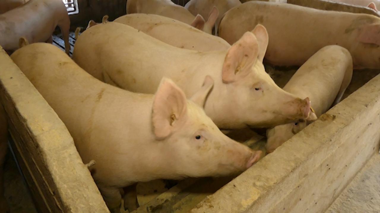 U Danskoj 68 odsto farmi pozitivno