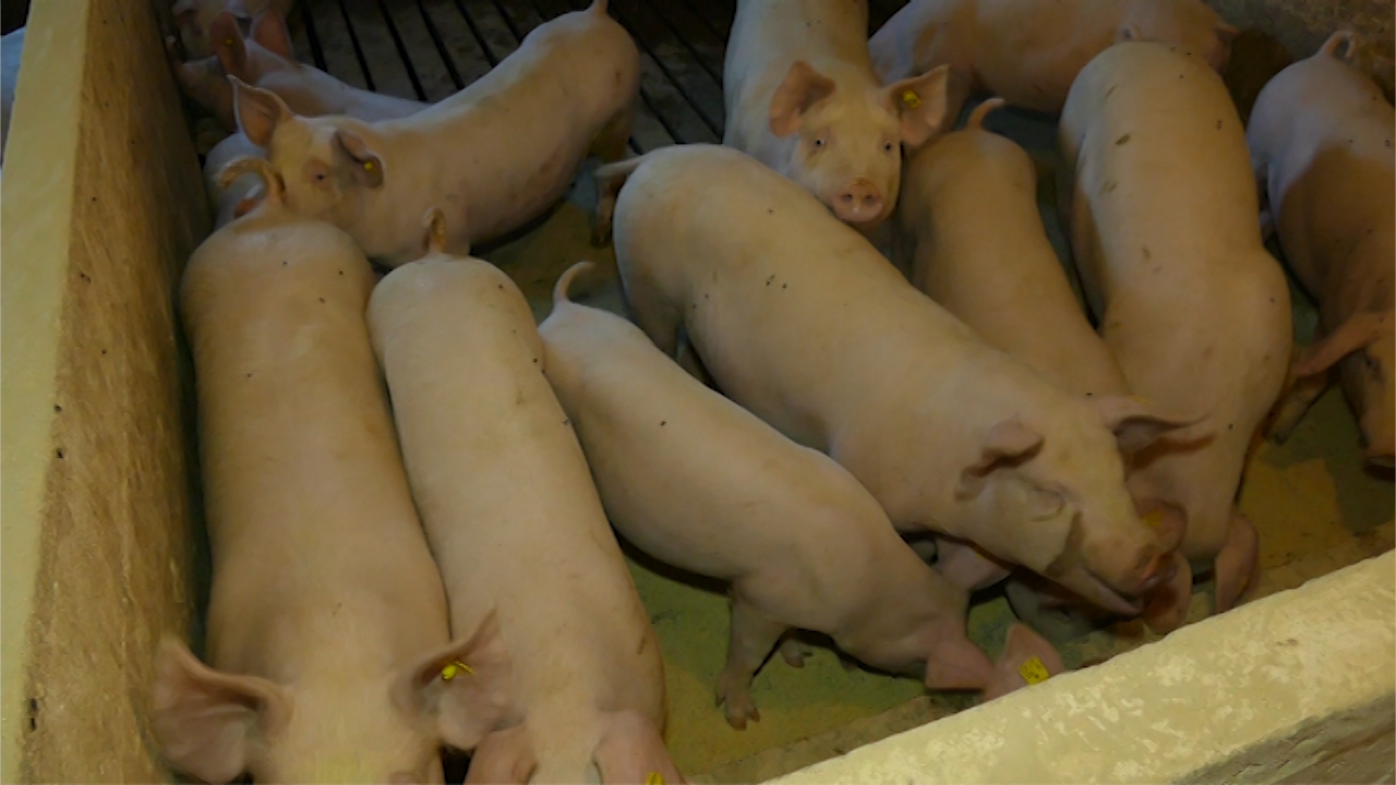 Vakcinacija blokira izvoz svinja